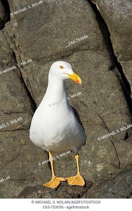 Yellow-footed Gull Larus livens in the Gulf of California Sea of Cortez, Mexico  This species is enedemic to the Gulf of California