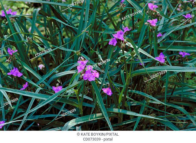Spiderwort (Tradescantia andersoniana)