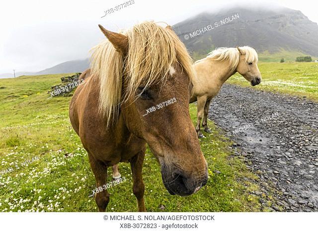 Icelandic horses on a farm on the southeast coast of Iceland