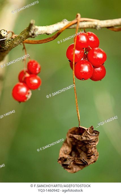 Dry leaf and fruits of Black Bryony (Tamus communis)