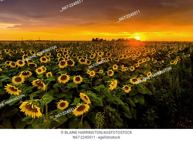 Sunflower fields, near Goodland, Western Kansas USA