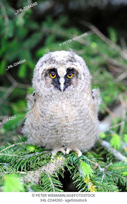 young bird of prey in fir tree