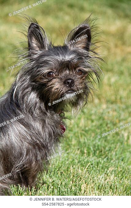 A gray small terrier mix dog outdoors