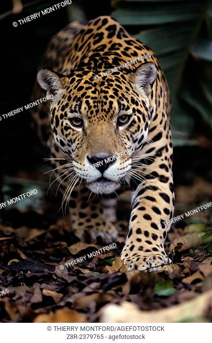 Panthera onca. Jaguar about to bound. French Guiana