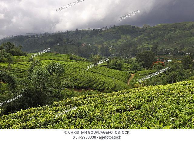 Tea plantation around the Castlereagh Lake near Hatton, Sri Lanka, Indian subcontinent, South Asia