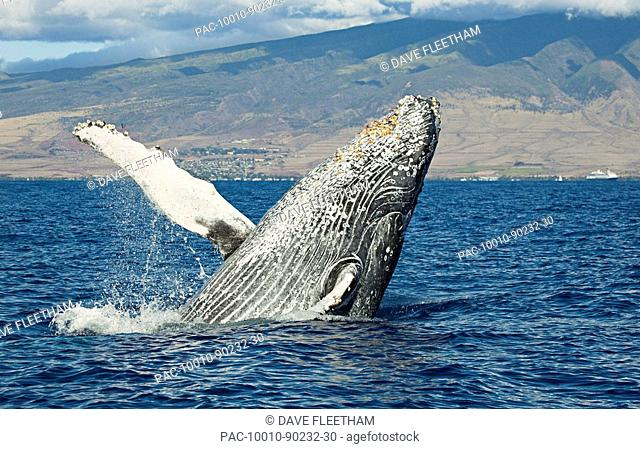 Hawaii, Maui, Humpback Whale Megaptera novaeangliae breaching off shore