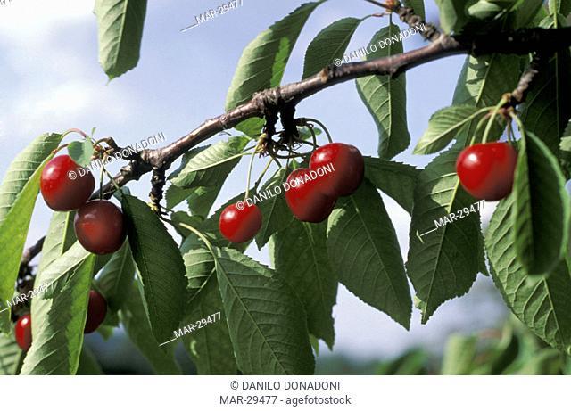 cherry fruits, vignola, italy