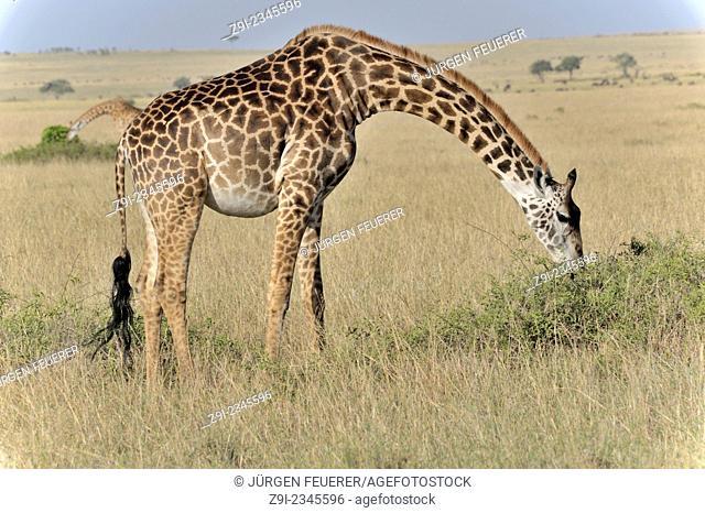 Giraffes, Giraffa camelopardalis, in the National Park of Masai Mara, Kenya