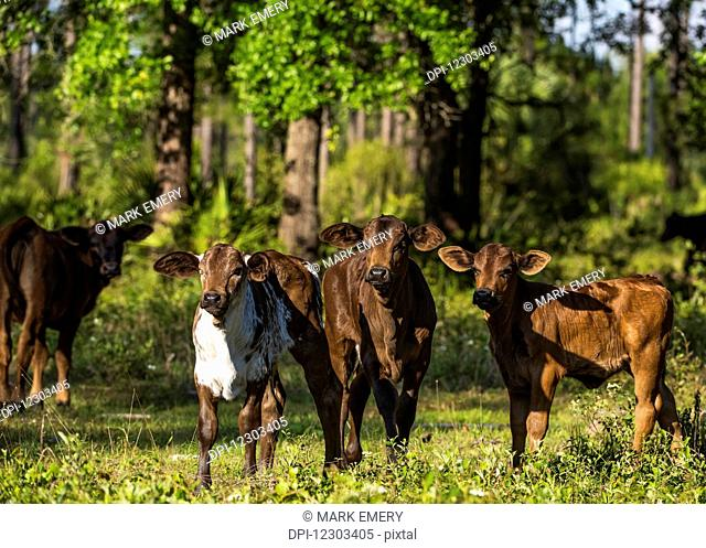 Free range cow and calves; Gaitor, Florida, United States of America