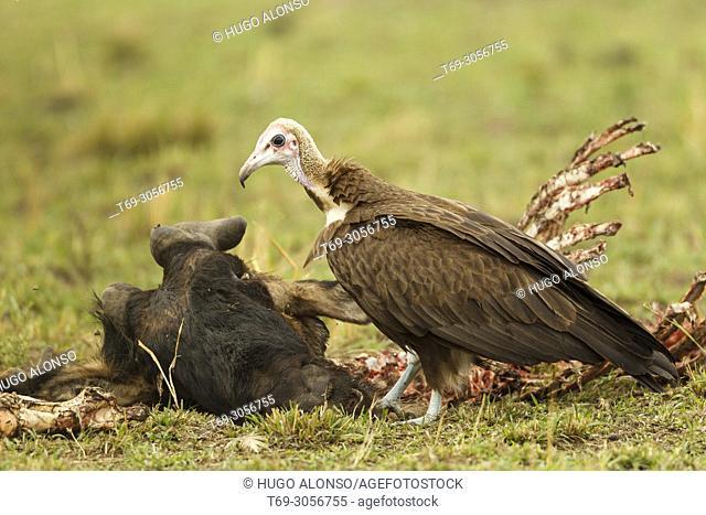 Hooded vulture. Necrosyrtes monachus. Kenia. Africa