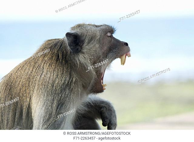 Juvenile crab-eating macaque (Macaca fascicularis), also known as the long-tailed macaque, is a cercopithecine primate native to Southeast Asia