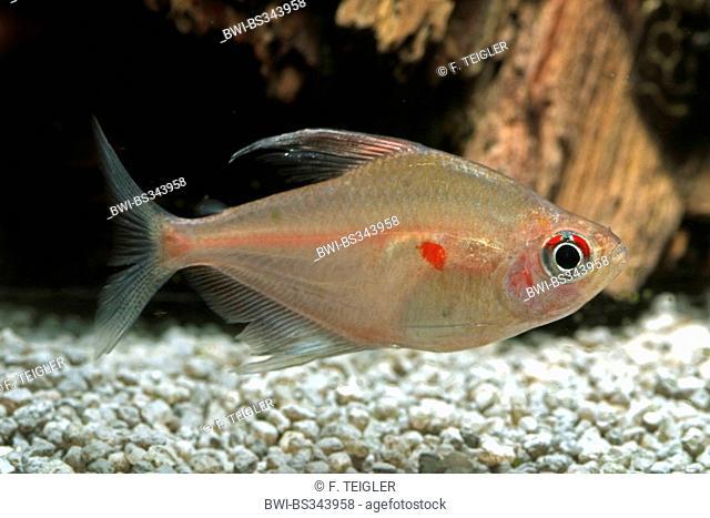 Lesser bleeding heart tetra, Lesser bleeding heart (Hyphessobrycon socolofi), swimming