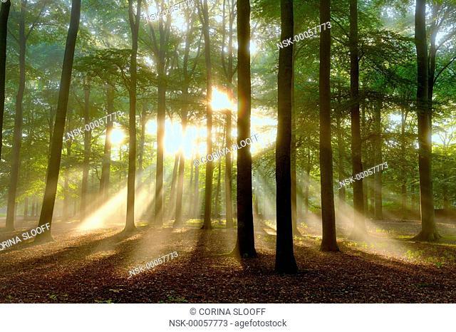 Early morning sun beams shining through a misty autumn forest, The Netherlands, Utrecht, De Bilt, Beerschoten