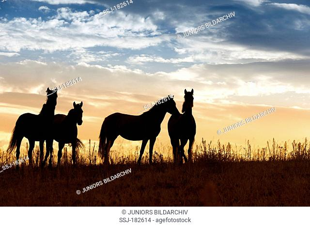 Nooitgedacht Pony. Four mares standing silhouetted against the evening sky. South Africa