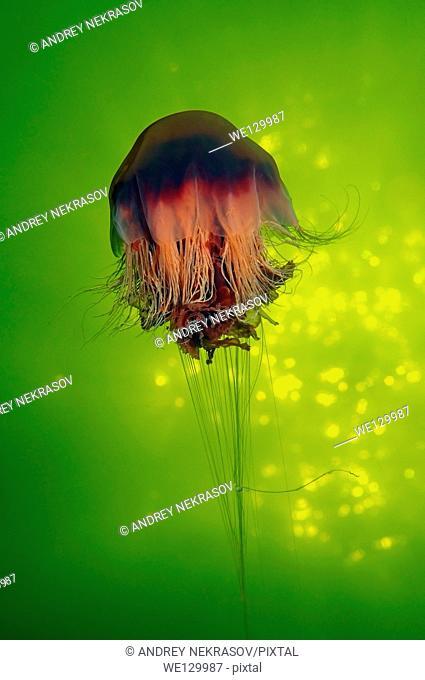 Lion's Mane Jellyfish ( Cyanea capillata) Arctic, Russia, Kareliya, White sea