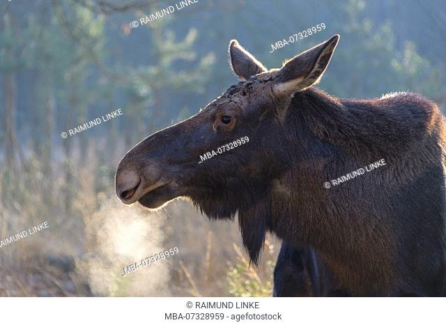 Moose, Elk, Alces alces, in winter, Germany, Europe