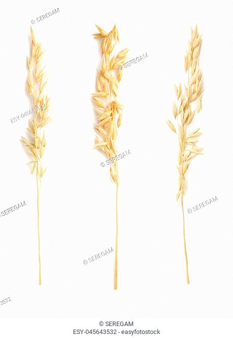 ears of oat isolated on white background