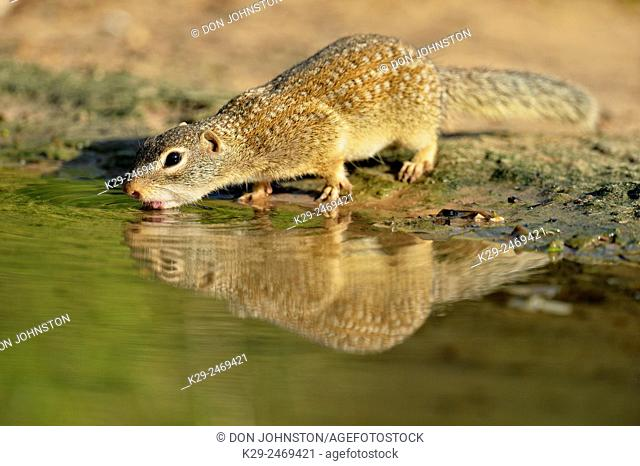 Mexican Ground Squirrel (Spermophilus mexicanus), Rio Grande City, Texas, USA