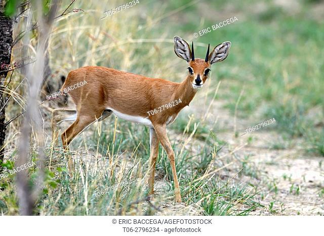 Steenbok male (Raphicerus campestris) Hwange National Park, Zimbabwe