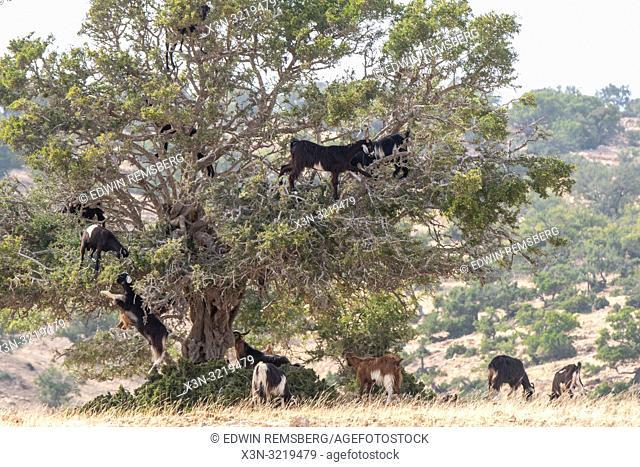Group of Goats Climbing Among Argan Trees, Essaouira, Morocco