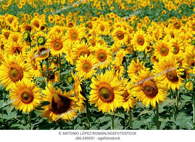 Sunflowers (Helianthus annuus) field