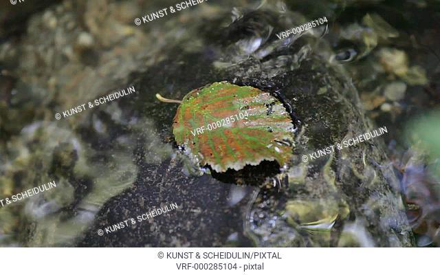An autumn leaf lies on a rock in a slow running creek. Noraström, Västernorrlands Län, Sweden