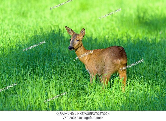 Roe Deer, Capreolus capreolus, Summer, Germany, Europe