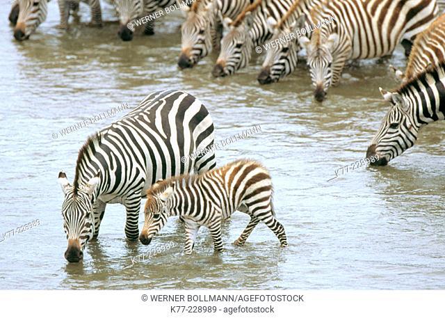 Zebras (Equus quagga boehmi) drinking at Mara River. Masai Mara. Kenya