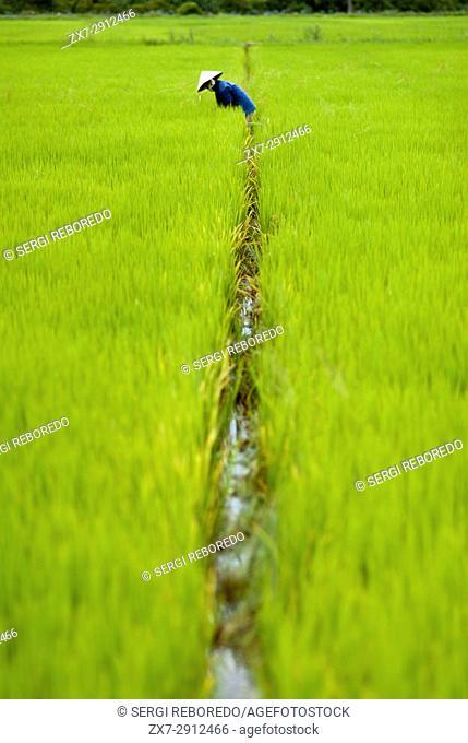 Women tending the rice fields. Hoi An, Vietnam. Vietnam, Quang Nam province, around Hoi An, Rice fields