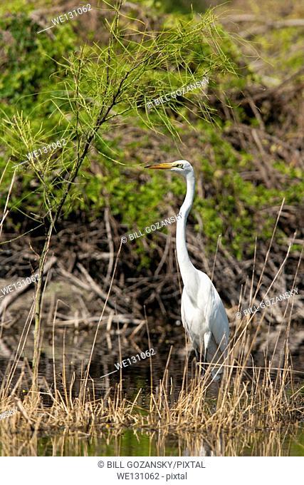 Great Egret - Camp Lula Sams - Brownsville, Texas USA