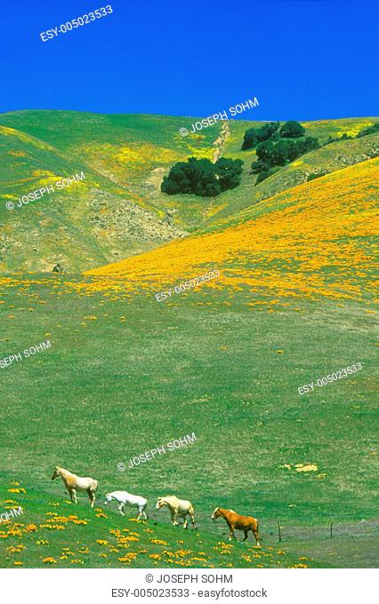 Field of California poppies in bloom with wildflowers, Lancaster, Antelope Valley, CA
