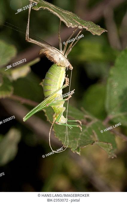 Katydid or Bush-cricket (Tettigoniidae sp.) shedding its skin, Lake Kerkini region, Greece, Europe