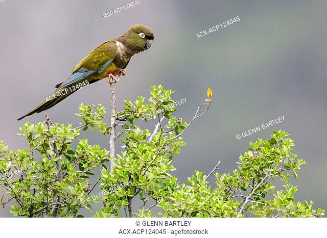 Burrowing Parakeet (Cyanoliseus patagonus) perched on a branch in Chile
