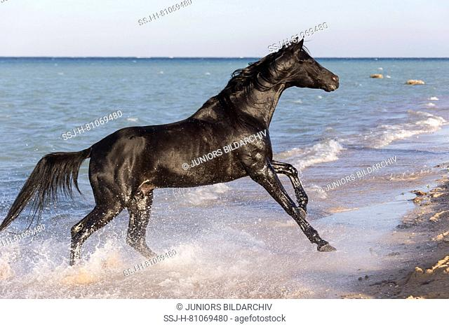 Arabian Horse. Black stallion galloping on a beach. Egypt