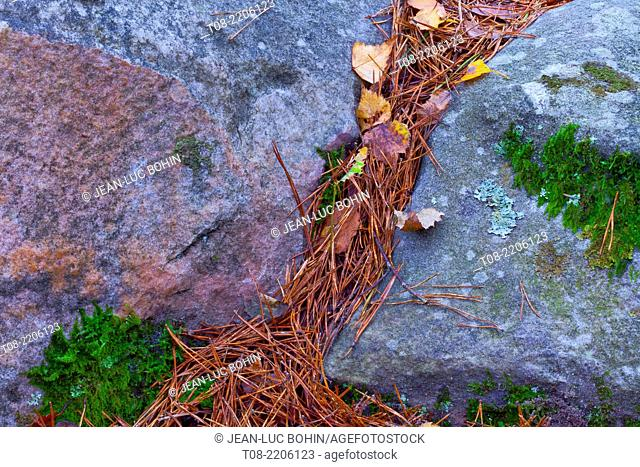 france,yvelines,chevreuse valley : rambouillet forest, autumn leaves, lichen, pine needles and moss on rock
