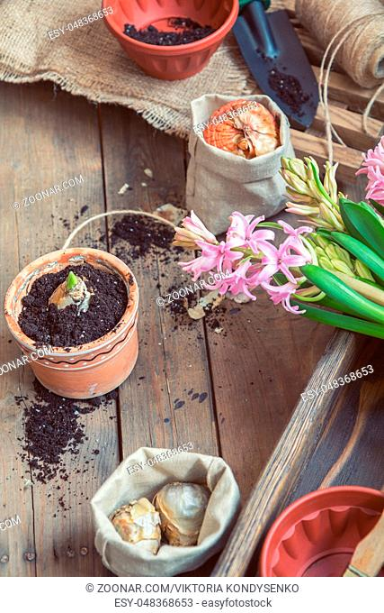 Gardening and planting concept. Seedlings garden tools, tubers (bulbs) gladiolus and hyacinth, flowers pink hyacinth. Toned and processing photo