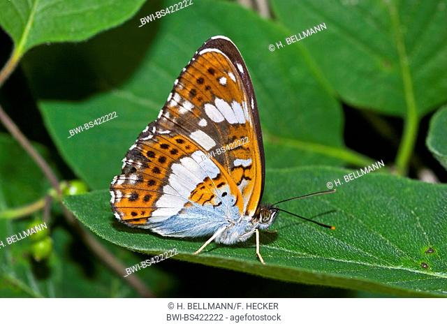 Eurasian White Admiral, White Admiral (Ladoga camilla, Limenitis camilla), sitting on a leaf, side view, Germany