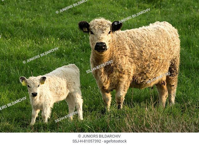 White Galloway. Cow and calf on a pasture. Germany