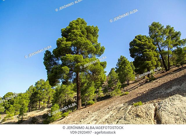 Pine and mountain landscape. High Atlas. Morocco, Maghreb North Africa