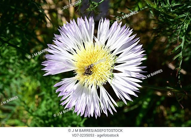 Flor del minero (Centaurea cachinalensis) is a perennial plant native to Chile. Flower with pollinator insect detail