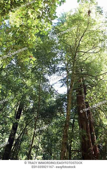 Looking up into the canopy of trees at Big Basin Redwoods State Park in Boulder Creek, California, USA