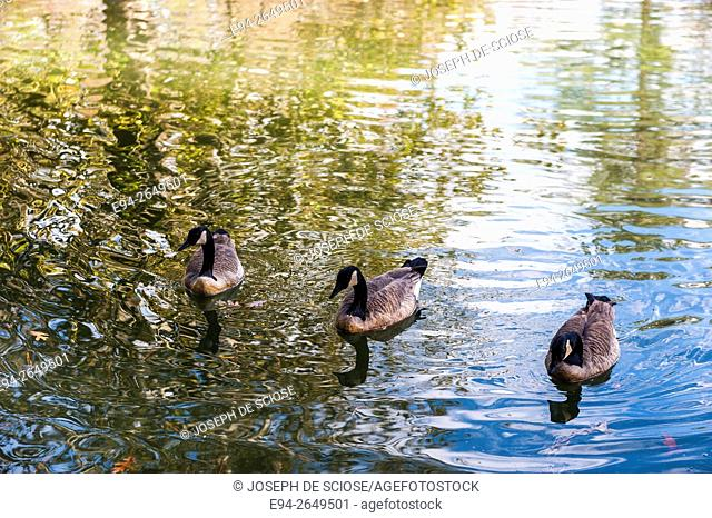 3 Canada Geese on a pond with light reflecting off of the water, Birmingham, Alabama