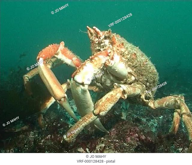 Spidercrab waling head on across Seabed WS. English waters, United Kingdom