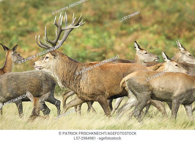 Red deer herd , Richmond park, London, England