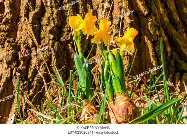 Daffodil onion in a forest