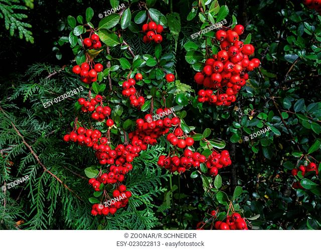 Red berries of the Pyracantha