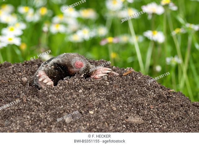 European mole, Common mole, Northern mole (Talpa europaea), on molehill in the garden, Germany