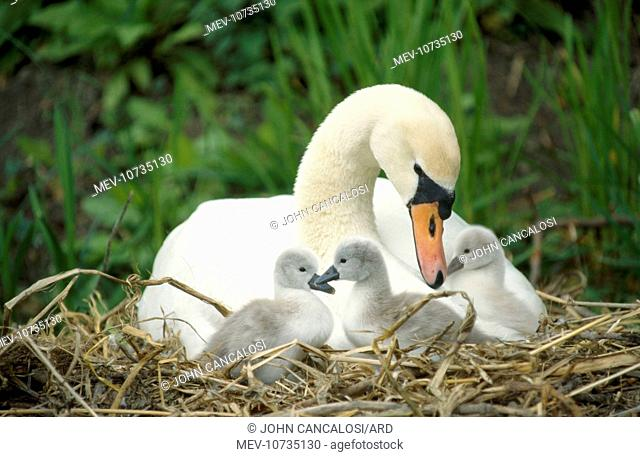 Mute SWAN - mother and cygnets (Cygnus olor)