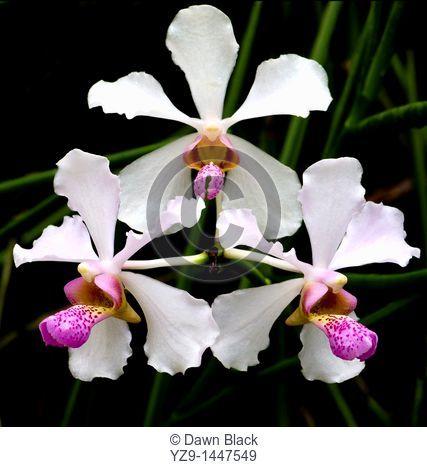 Orchidaceae Vanda John Club hybrid Vanda Cooperi x Vanda tessellata