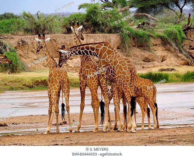 reticulated giraffe (Giraffa camelopardalis reticulata), group drinking at a river, Kenya, Samburu National Reserve